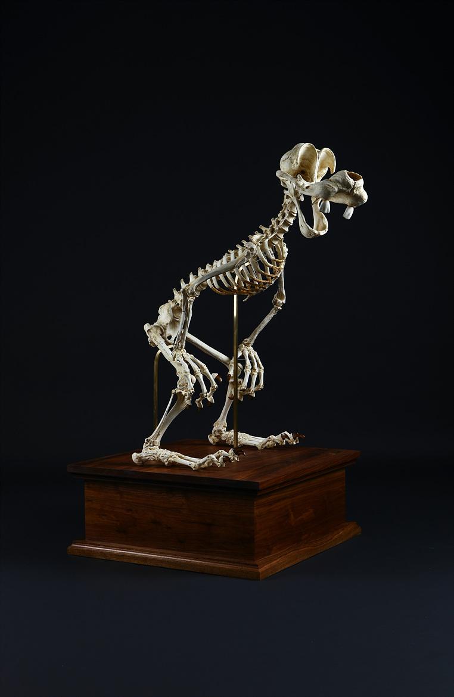 Ridicularis (Goofy Skeleton)